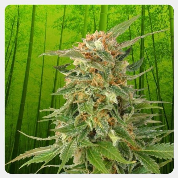 Kannabia - Ginger Punch Auto (5 seeds pack)