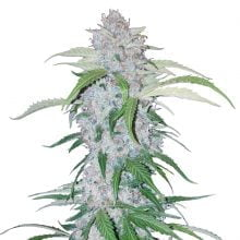 Fast Buds - Six Shooter Automatic (3seeds/pack)