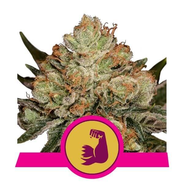 Royal Queen Seeds Hulk Berry feminized cannabis seeds (5 seeds pack)