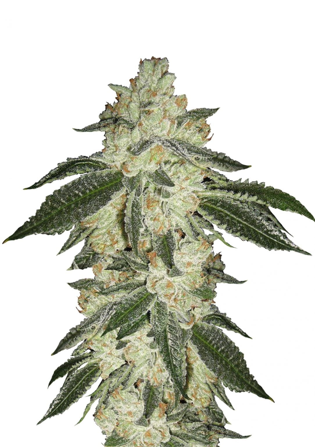 Fast Buds - Green Crack Automatic (3seeds/pack)