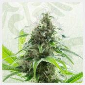 Kannabia - Kama Kush CBD (5 seeds pack)