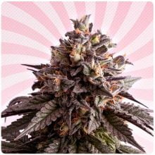 Kannabia - Gelato-K (3 seeds pack)