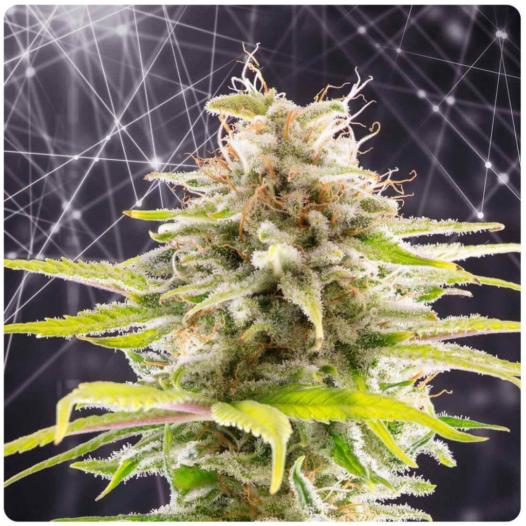 Kannabia - Super O.G. (3 seeds pack)