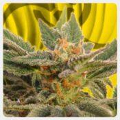 Kannabia - Kritic Auto (3 seeds pack)