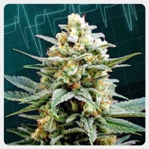 Kannabia - Kritical-K (5 seeds pack)