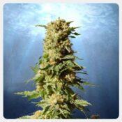 Kannabia - La Blanca (3 seeds pack)