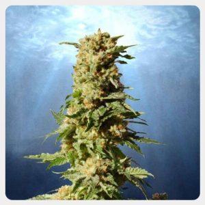 Kannabia - La Blanca (5 seeds pack)