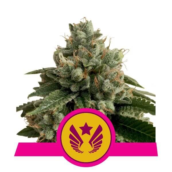 Royal Queen Seeds Legendary OG Punch feminized cannabis seeds (5 seeds pack)