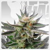 Kannabia - Sativa Dream (3 seeds pack)