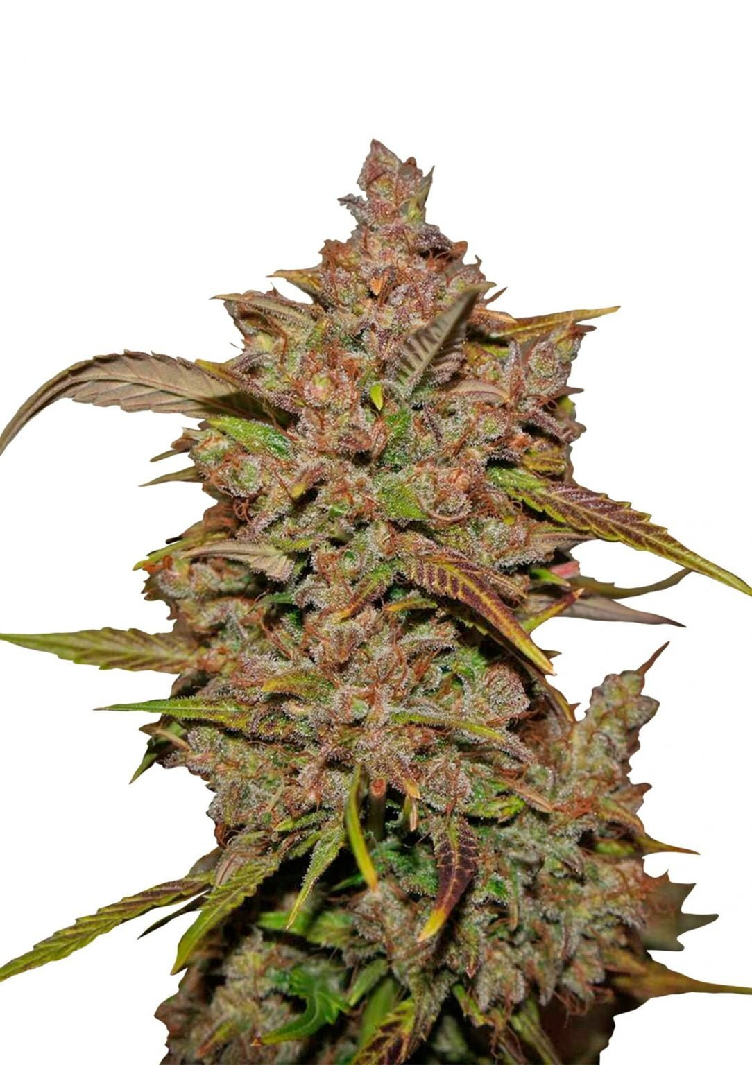 Fast Buds - Crystal Meth Automatic (3seeds/pack)
