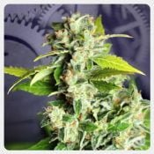 Kannabia - Mikromachine Auto (5 seeds pack)