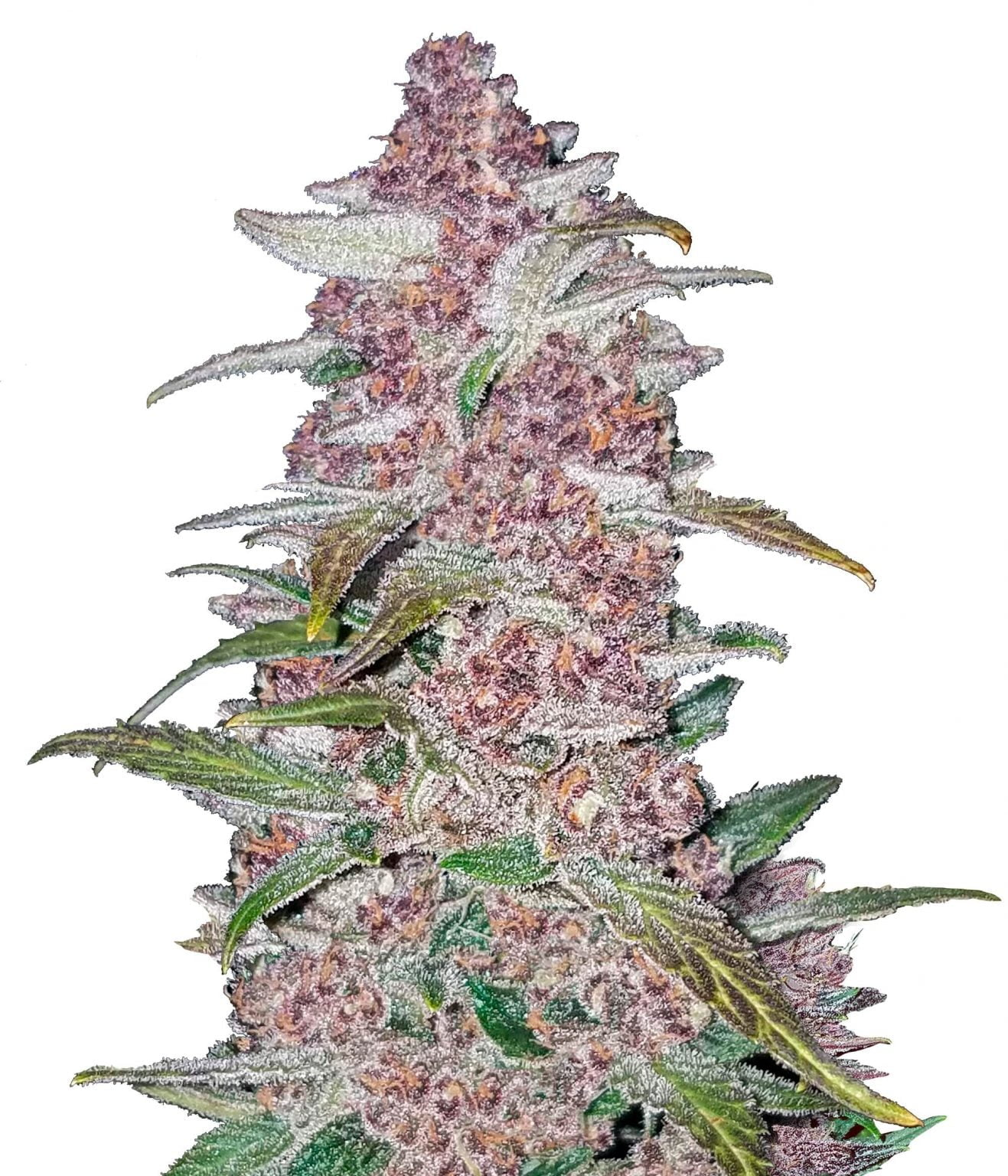 Fast Buds - Blackberry Automatic (3seeds/pack)