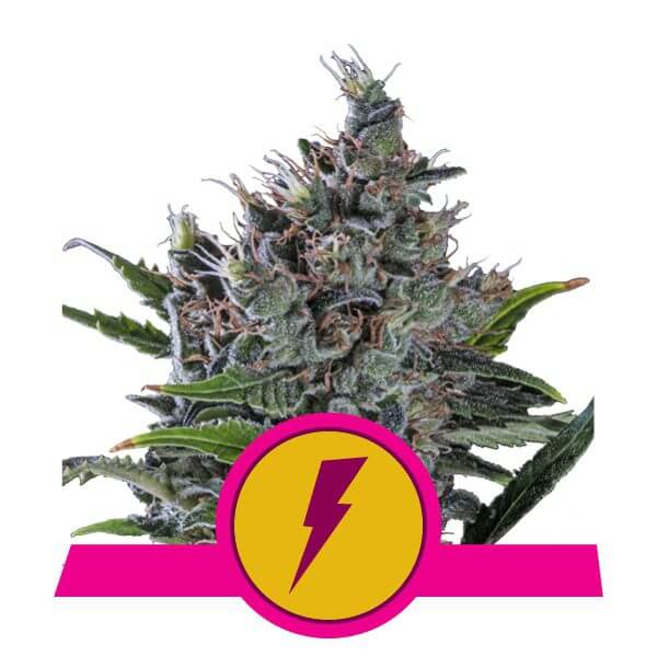 Royal Queen Seeds North Tunderfuck feminized cannabis seeds (5 seeds pack)