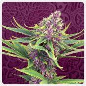 Kannabia - Purple Kush (3 seeds pack)