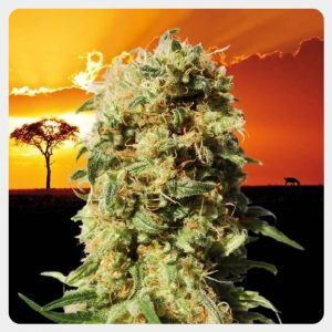 Kannabia - La Reina de Africa Kaboom (3 seeds pack)