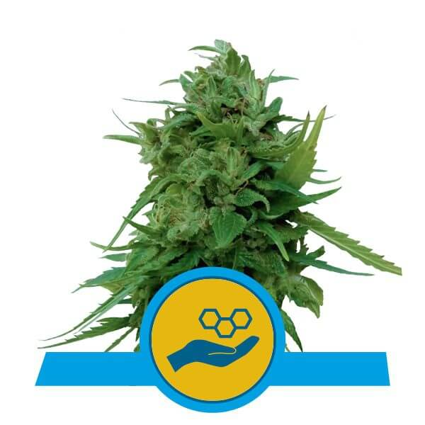 Royal Queen Seeds Solomatic CBD cannabis seeds (3 seeds pack)