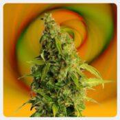 Kannabia - Speedy Boom Auto (3 seeds pack)