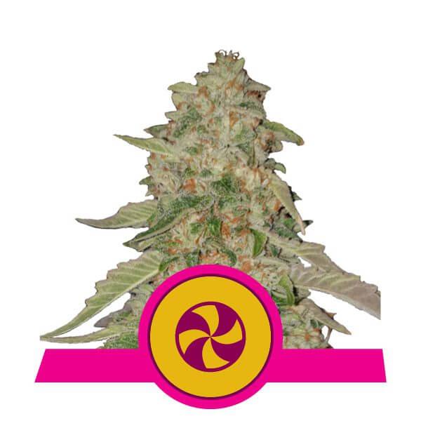 Royal Queen Seeds Sweet ZZ feminized cannabis seeds (3 seeds pack)