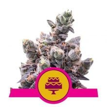Royal Queen Seeds Wedding Gelato feminized cannabis seeds (3 seeds pack)