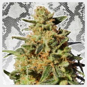 Kannabia - White Domina (3 seeds pack)