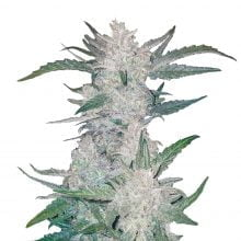 Fast Buds - Rhino Ryder Automatic (3seeds/pack)
