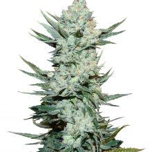Fast Buds - Tangie'Matic (3seeds/pack)