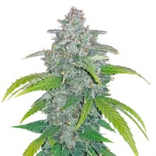 Fast Buds - Blue Dream 'Matic (5seeds/pack)