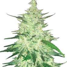 Fast Buds - CBD Automatic 20:1 (5seeds/pack)