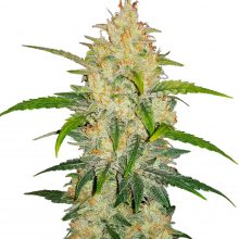 Fast Buds - Zkittlez Automatic (3seeds/pack)