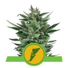 Royal Queen Seeds Quick One semi di cannabis autofiorenti (confezione 5 semi)