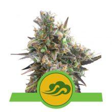Royal Queen Seeds Royal Bluematic semi di cannabis autofiorenti (confezione 5 semi)