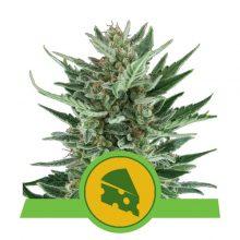 Royal Queen Seeds Royal Cheese Auto semi di cannabis autofiorenti (confezione 5 semi)