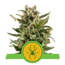 Royal Queen Seeds White Widow Auto semi di cannabis autofiorenti (confezione 5 semi)