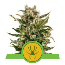 Royal Queen Seeds White Widow Auto semi di cannabis autofiorenti (confezione 3 semi)