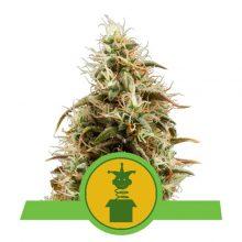 Royal Queen Seeds Royal Jack Auto semi di cannabis autofiorenti (confezione 5 semi)