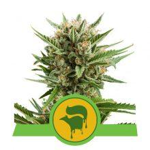 Royal Queen Seeds Sweet Skunk Auto semi di cannabis autofiorenti (confezione 5 semi)