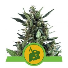 Royal Queen Seeds Blue Cheese Auto semi di cannabis autofiorenti (confezione 5 semi)