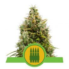Royal Queen Seeds Royal AK Auto semi di cannabis autofiorenti (confezione 3 semi)