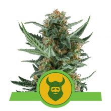 Royal Queen Seeds Royal Dwarf semi di cannabis autofiorenti (confezione 5 semi)