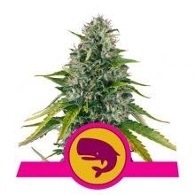Royal Queen Seeds Royal Moby semi di cannabis femminizzati (confezione 5 semi)