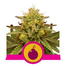 Royal Queen Seeds Royal Domina semi di cannabis femminizzati (confezione 5 semi)