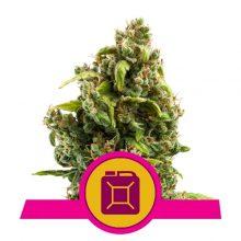 Royal Queen Seeds Sour Diesel semi di cannabis femminizzati (confezione 3 semi)