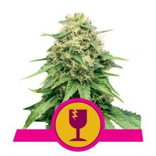 Royal Queen Seeds Critical semi di cannabis femminizzati (confezione 5 semi)
