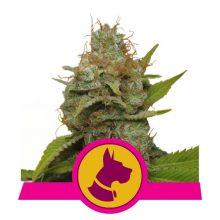 Royal Queen Seeds Kali Dog semi di cannabis femminizzati (confezione 3 semi)