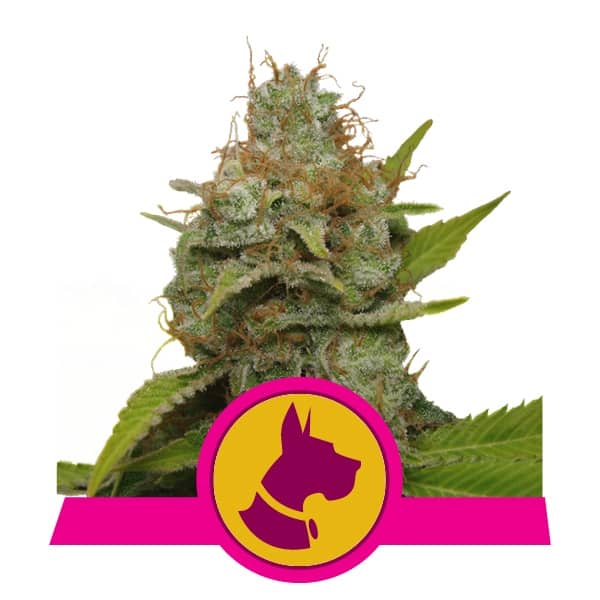 Royal Queen Seeds Kali Dog semi di cannabis femminizzati (confezione 5 semi)