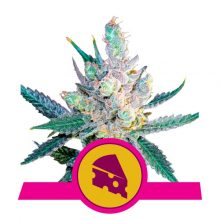 Royal Queen Seeds Royal Cheese semi di cannabis femminizzati (confezione 5 semi)