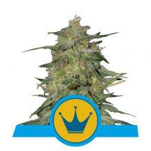 Royal Queen Seeds Royal Highness CBD semi di cannabis (confezione 5 semi)