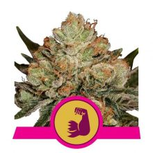 Royal Queen Seeds Hulk Berry semi di cannabis femminizzati (confezione 5 semi)