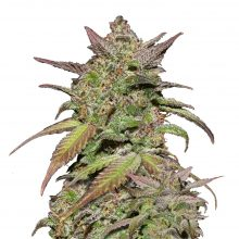 Fast Buds - Smoothie Automatic (3seeds/pack)