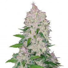 Fast Buds - Stardawg Automatic (3seeds/pack)